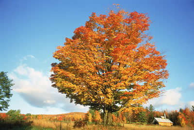 autumn-orange-tree